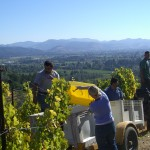 Harvest on Newton Vineyards