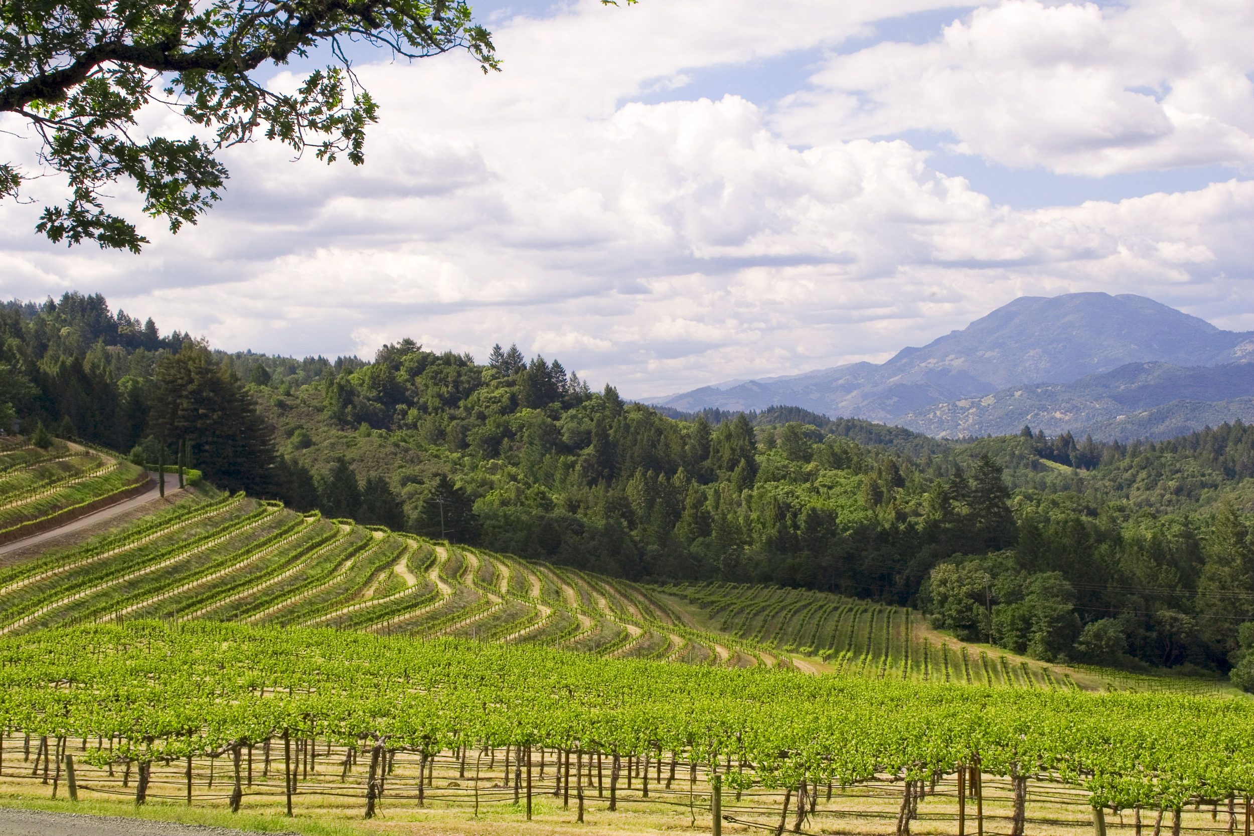 ... Vista Of Mount St. Helena From The Vineyard At Terra Valentine ...