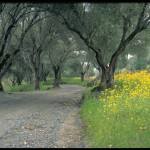 Olive tree lined drive - Spring Mountain Vineyard - photo by Tom Ferrell