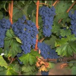 Cabernet Sauvignon at Chateau Chevalier on Spring Mountain Vineyard - photo by Tom Ferrell