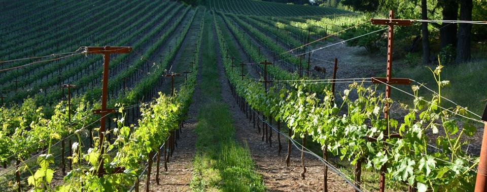 cropped vineyard